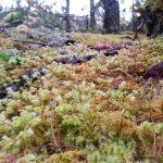 stair-step moss