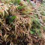 red steam feather moss